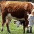 Evoluţia focarelor de dermatoză nodulară a bovinelor. Și la granița țării noastre!