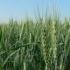 Prognoze sumbre pentru cultivatorii de grâu