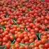 Războiul tomatelor! Roşiile turceşti încă nu pleacă spre Rusia