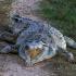 O nouă specie de crocodil preistoric, descoperită în România