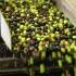 Uleiul de măsline, insuficient! Cea mai proastă producţie din ultimele decenii în Italia!
