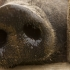 Cum afectează pesta porcină africană afacerile agricultorilor