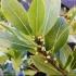 Frunzele de dafin, beneficii pe care nu le ştiai
