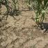 Agricultorii vor suferi pierderi din cauza deficitului de apă din centrul și sudul Dobrogei