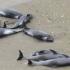 Șase pui de delfin, găsiți morți pe o plajă din Năvodari