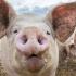 Despăgubiri pentru proprietarii animalelor cu Pesta Porcină Africană
