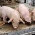 Cel mai mare DEZASTRU BIOLOGIC! Sute de focare noi de pestă porcină