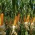 România, șefa UE la producția de porumb