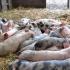 Peste porcină africană, confirmată la 2 mistreţi morți