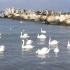 Lebedele moarte, infectate cu gripă aviară, găsite în Şantierul Naval Constanţa