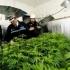 Americanii sunt de acord cu legalizarea consumului de marijuana