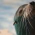 Oaspeți noi la Delfinariu! Trei lei de mare californieni, la Constanța