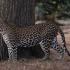 Peste o sută de școli închise în India din cauza unui leopard