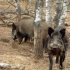 Pesta porcină africană confirmată la șapte mistreți, în trei zone de vânătoare din județul Constanța