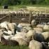 Victimă a unor escroci, un cioban stă-n capul listei celor mai mari datornici din ţară