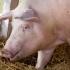 În sute de localităţi! Numărul focarelor de pestă porcină africană, peste 1000