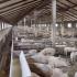 Porcii, la putere! Programe naţionale de susţinere a fermelor
