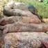 Cifrele DEZASTRULUI în privința pestei porcine: sute de mii de porci sacrificați
