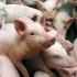 MĂSURI pentru prevenirea pestei porcine, la Constanța! Uite detalii!
