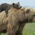 România își scoate urșii la export