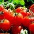 Cât pesticid conțin roşiile românești de pe piaţă