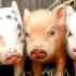 S-ar putea interzice creşterea porcilor în gospodării? Ce spune ANSVSA