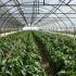 Recomandări pentru combaterea dăunătorilor  culturilor de legume în spații protejate