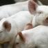 Situaţia focarelor de pestă porcină în judeţul Constanţa