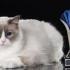 Se întinde covorul roșu pentru cele mai SofistiCAT-e feline!