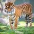 SOS! Tigrul de Sumatra își pierde casa