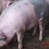 Spectrul pestei porcine afectează Sărbătorile! Ce aveţi sau nu voie să faceţi