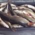 Un sălăjan a fost prins cu 46 kg de știucă pentru... ''consum propriu''