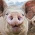 Focar de pestă porcină, în județul Constanța. Ce măsuri au luat autoritățile